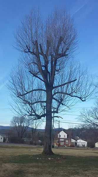 tree properly pruned by Branching Out tree arborist